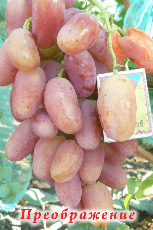 ягоды розового винограда