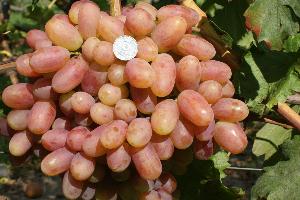 гроздь винограда преображение