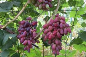 лоза винограда ризамат
