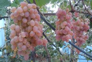 грозди розового винограда