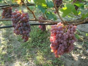 розовый виноград лоза
