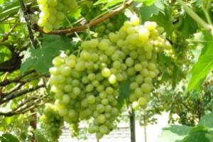 зеленый виноград на ветке