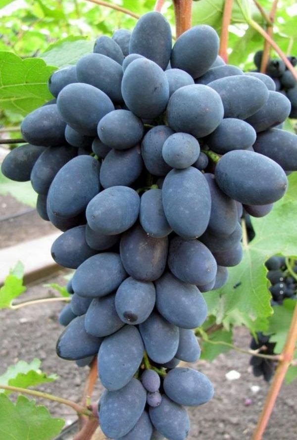 гроздь темного винограда