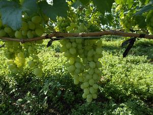 неспелый виноград лора на кусте