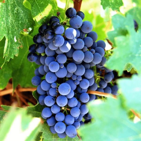 виноград изабелла гроздь