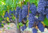 виноград сорта изабелла на ветках