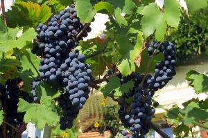 лоза синего винограда