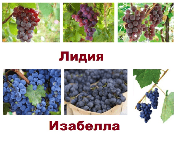 виноград лидия и изабелла