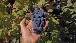 гроздь синего виноград в руке