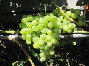 виноградная лоза зеленого винограда