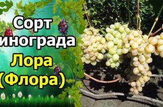 виноград лора