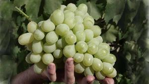 гроздь белого винограда в руке