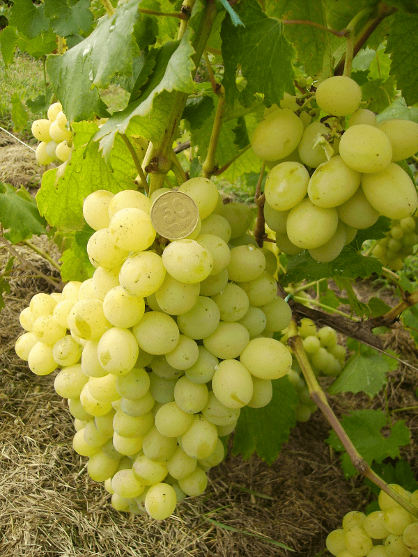 белый виноград лора