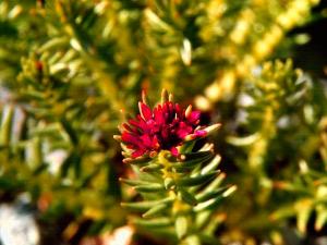 цветок красной щетки
