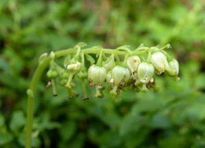 цветы травы боровой матки