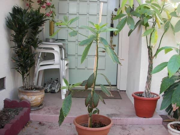 дерево авокадо в горшке