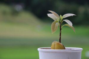 росток авокадо в горшке