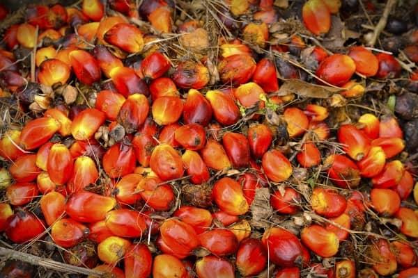 плоды масличной пальмы