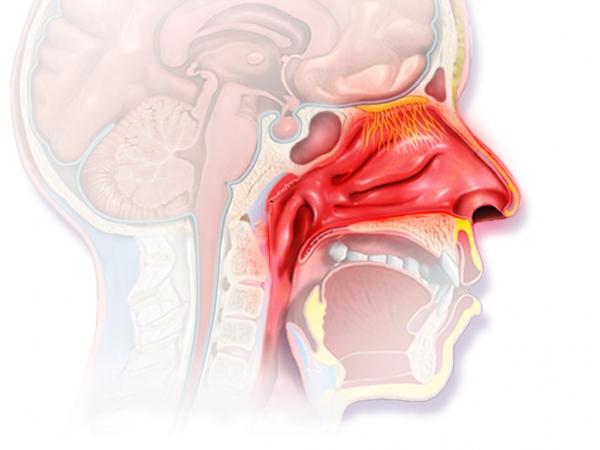 схема внутреннего строения носа