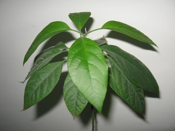 верхушка дерева авокадо