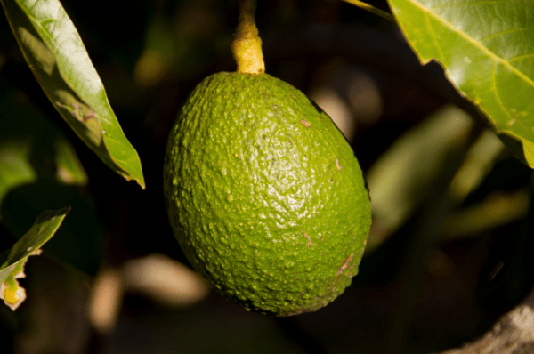 авокадо на ветке