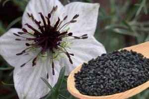 белый цветок черного тмина и его семена