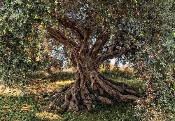 дерево оливы с плодами