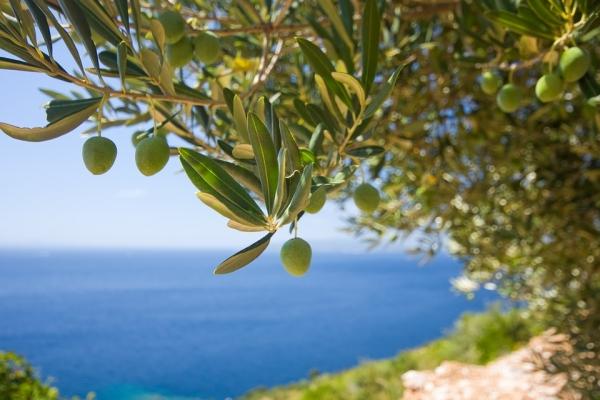 дерево оливы