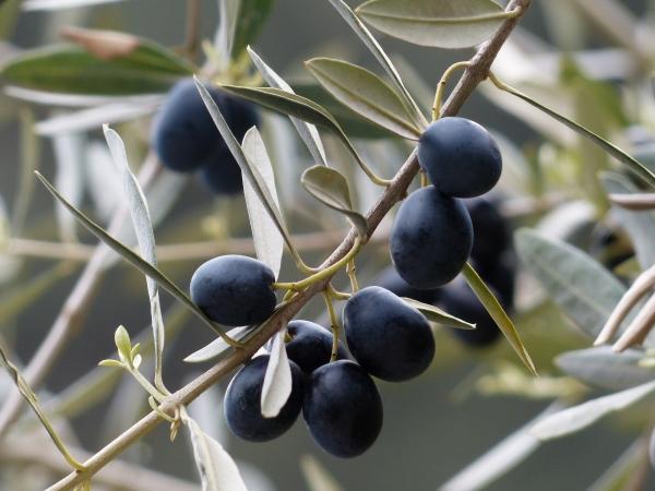 маслины на ветке