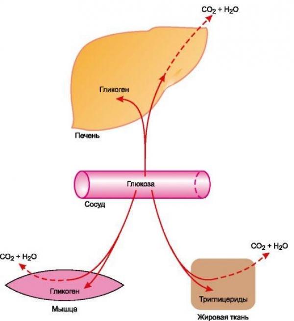 схема усвоения глюкозы