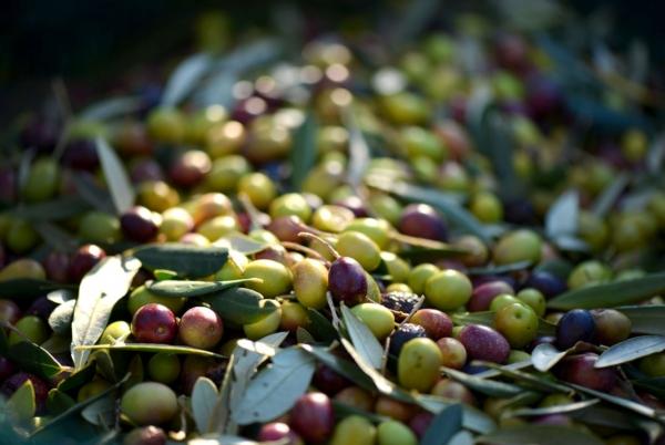 оливки на веточках