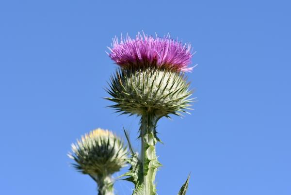 цветок расторопши на фоне неба