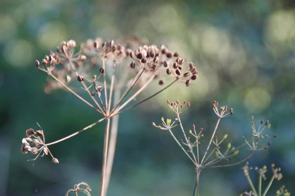 сухая ветка укропа с семенами