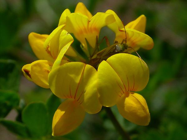 люцерна желтая