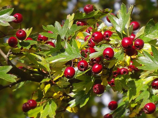 куст боярышника с плодами