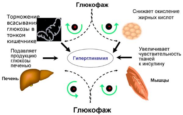 глюкофаж, схема
