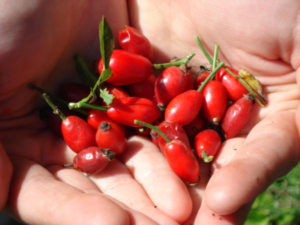 плоды шиповника в ладонях