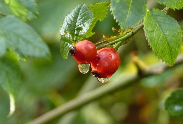 ягоды шиповника на ветке