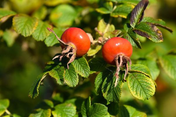 куст шиповника с ягодами