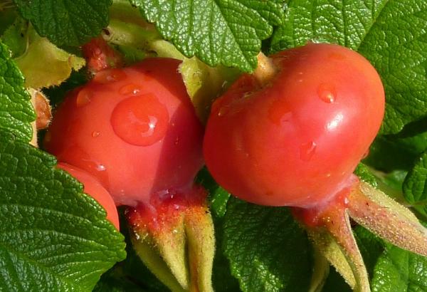 крупные ягоды шиповника