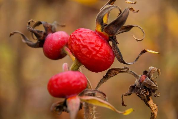 сухие плоды шиповника на ветке