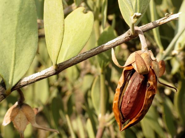 спелый орех жожоба