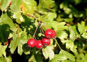 плоды боярышника на ветке с листьями
