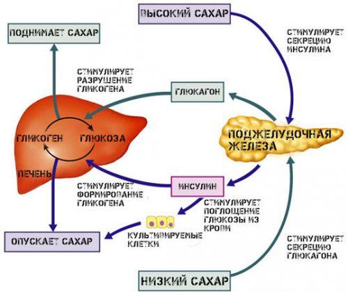 инсулин и внутренние органы