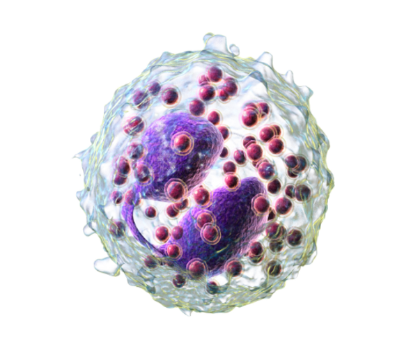 клетка эозинофила