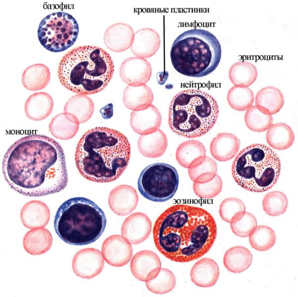 различные типы клеток крови