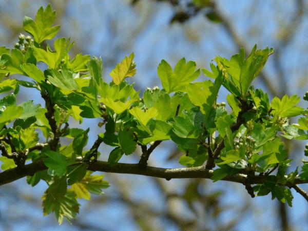 ветка боярышника с листьями
