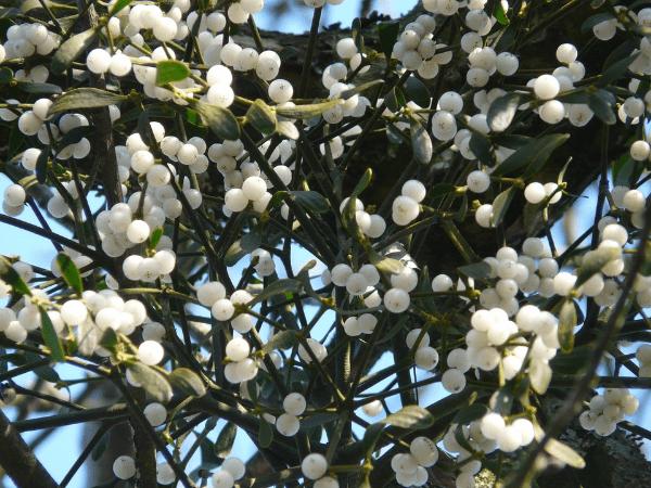ягоды белой омелы
