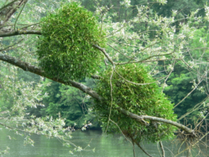 омела на ветке дерева