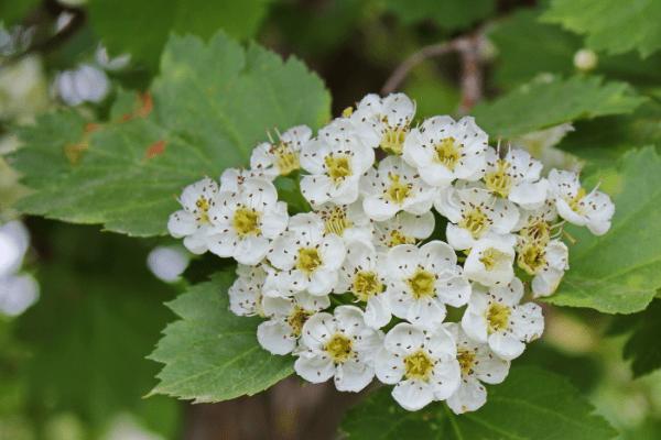 соцветие боярышника
